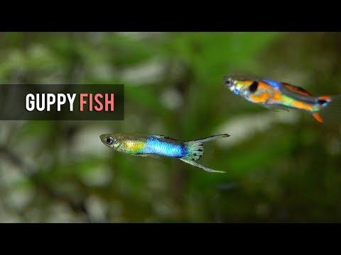 Ikan Guffy