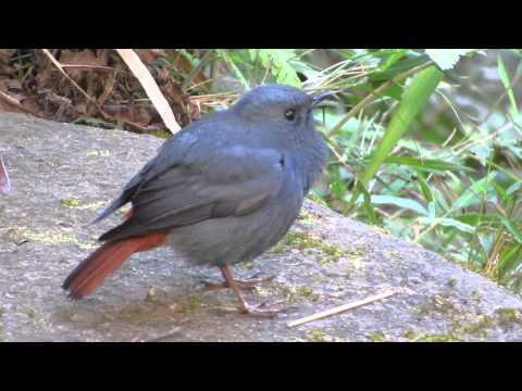 Plumbeous Water Redstart - Birdwatching Thailand