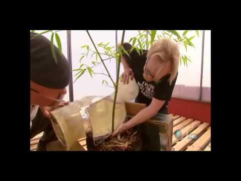Mythbusters Bamboo Torture