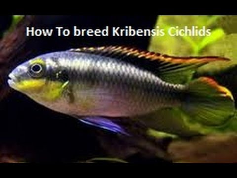 How To breed Kribensis Cichlids
