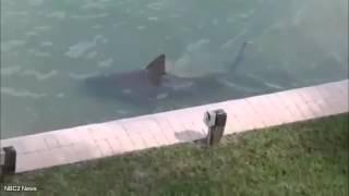 بالفيديو: سمكة قرش تسبح في حوض منزل