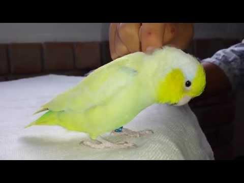 Parrotlet ( Little Parrot ) Do Amazing Trick | Chim Ket lam tro !