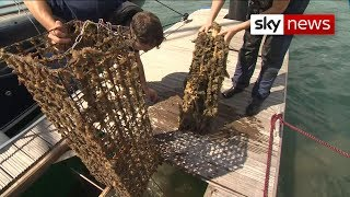 Oysters finally reproducing after decades of being overfished - SKYNEWS