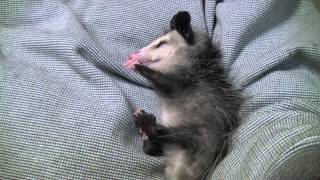 Baby Possum Sleeping