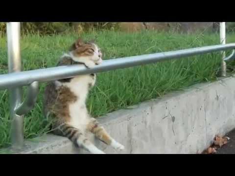 Mačak flegma