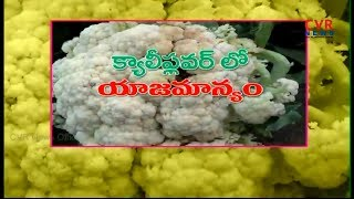 Cultivation of Cauliflower | How to Grow Cauliflower Organically | Raithe Raju | CVR News - CVRNEWSOFFICIAL