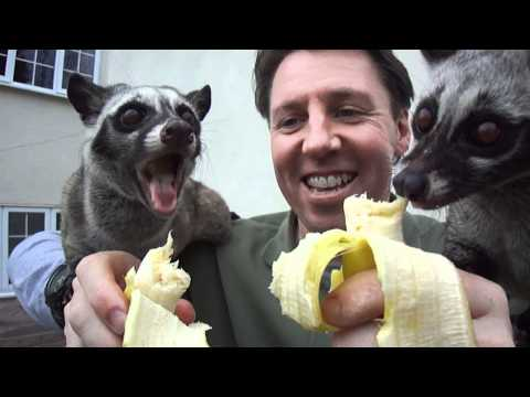 Asian Palm Civets Moser and Musang