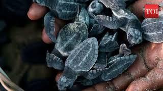 80 Olive Ridley turtles hatch at Versova beach, activists happy - TIMESOFINDIACHANNEL