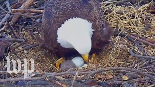 Bald eagle hatches in D.C. - WASHINGTONPOST