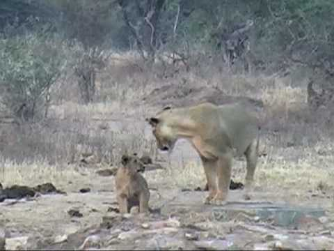 Lions family tie, KrugerPark South Africa