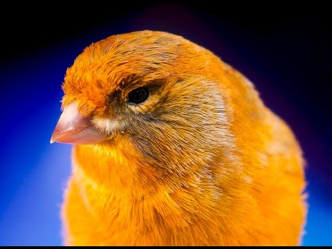 canary singing best video to training canaries part 2 HD