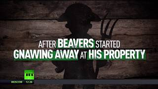 Hands off the Beavers! Landowner fails to sue animals gnawing his property - RUSSIATODAY