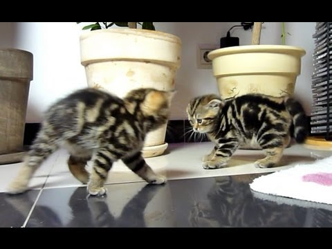 Funny Cats dancing fighting.  Cute Ninja Kittens.