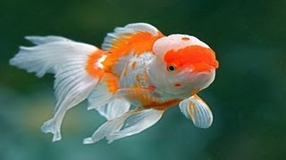 [Chinese Red Cap Oranda Goldfish (Brain Fish)]