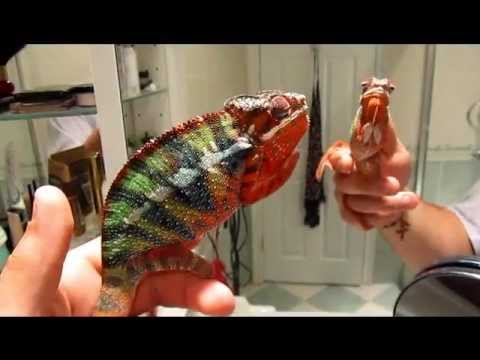Panther chameleon changing colors