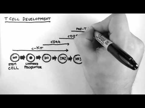T Cell Development -08H5CmDaRjU