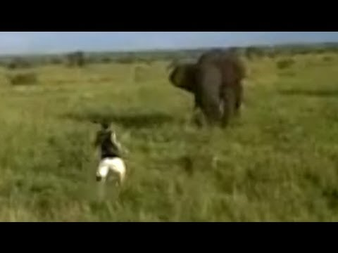 Drunk Man Charges A Wild Elephant
