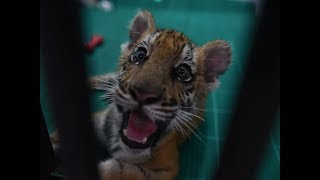 Watch: Orphaned tiger cub hand-reared, doing fine - TIMESOFINDIACHANNEL