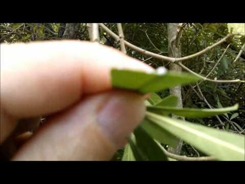 Leiteira planta