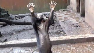 Emaciated bears beg for food - CNN