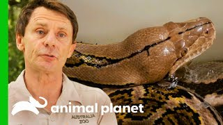 Reticulated Python Needs Extra Help To Shed Her Skin | Crikey! It's The Irwins - ANIMALPLANETTV