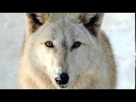 Wolf Athletic Gear