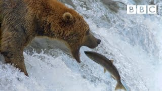 Grizzly bear's amazing salmon catching techniques - BBC - BBC