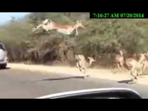 Jaguar vs jump impala,Jaguar fight to life or death  Jaguar Original