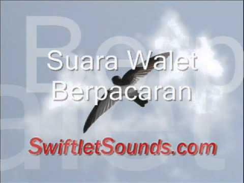 Swiftlet Sounds Suara Walet Berpacaran Internal.wmv
