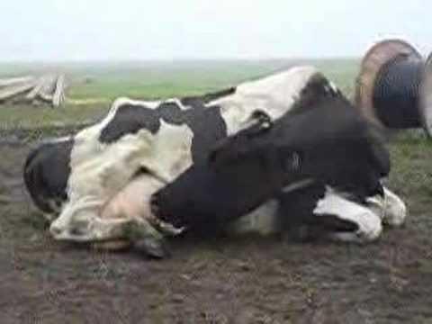 Video: Krizė - Net ir karvės ją pajuto