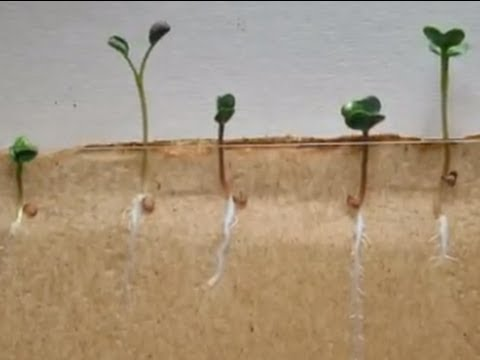 Time-lapse of Radish seeds (tan background)