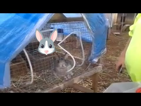 Chinchilla Rabbit just had babies