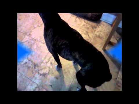 Dog Hip Dysplasia Recovery. Tyson a 9 year old Boxer runs again
