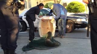 بالفيديو والصور.. الشرطة الأمريكية تساعد أسد بحر يعاني من سوء التغذية