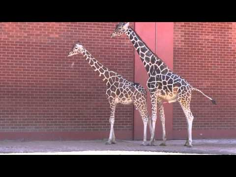 Giraffes Mating at the Zoo