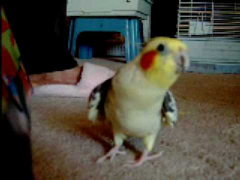 Thumbnail image for 'Cockatiel Whistles Andy Griffith Song'