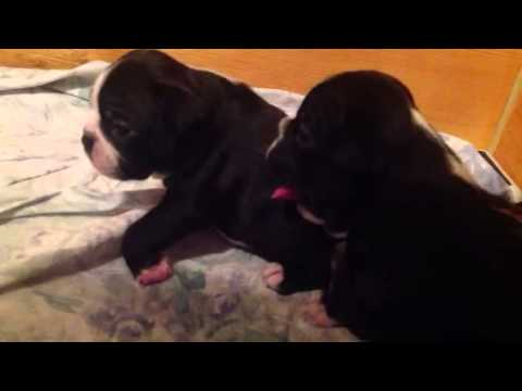Angry puppies growl