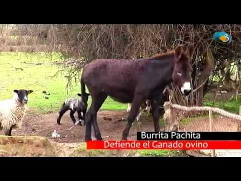 Burrita Pachita defiende ovejas.  Espanta zorros, perros y depredadores.