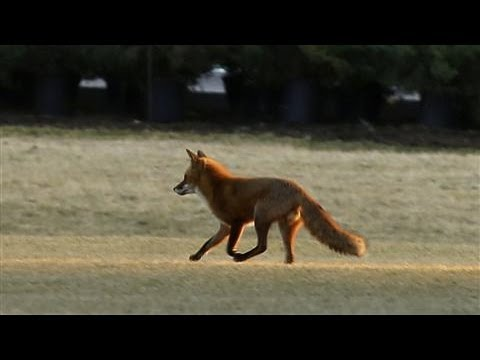 The Fox at the White House
