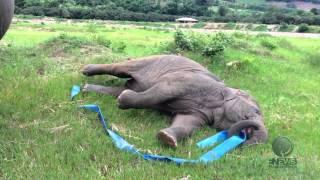 بالفيديو.. فيل يستعرض مهاراته فى الجمباز الإيقاعى
