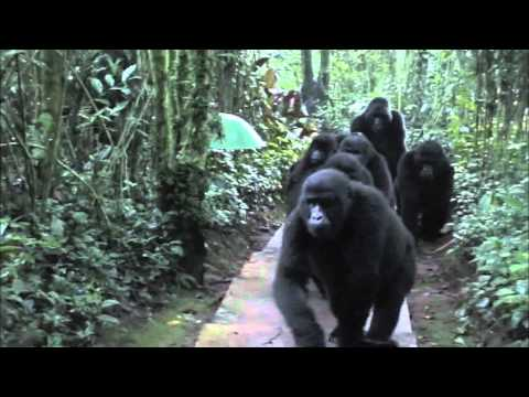 Incredible footage of mountain gorillas in Uganda.