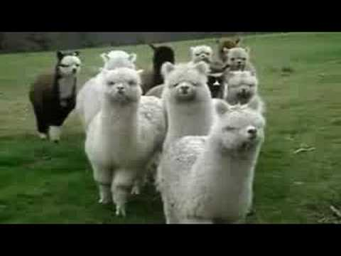 March Of The Alpaca