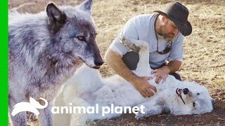 LARC's Best Rescue Success Stories | Wolves and Warriors - ANIMALPLANETTV