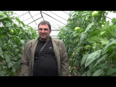 Доматите PANEKRA  -  сензация в оранжериите