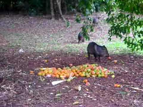 Porco do mato e macaco prego em Primavera-SP
