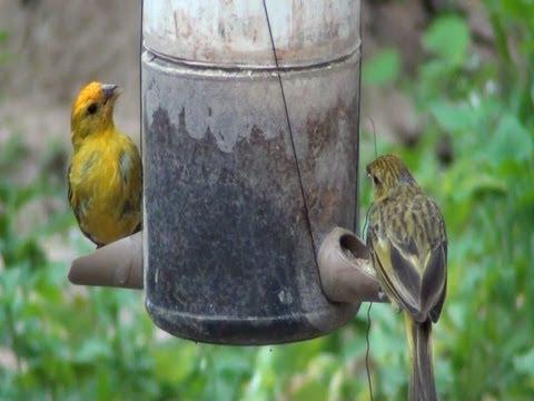 Casal de canários, Canário da terra no comedouro, Sicalis flaveola, pássaros silvestres,