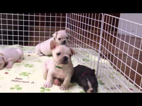 フレンチブルドッグブリーダーGRANBLUE犬舎#262 フレンチブルドッグ子犬販売