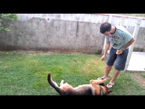 Adestramento básica de um cachorro da raça Pastor Alemão