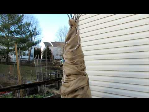 How to Wrap a Fig Tree for Winter Protection in Zone 7 -  Tips, 3 layers, & Vented Top