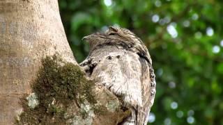 El Nictibio, una extraña ave que habita en Venezuela.